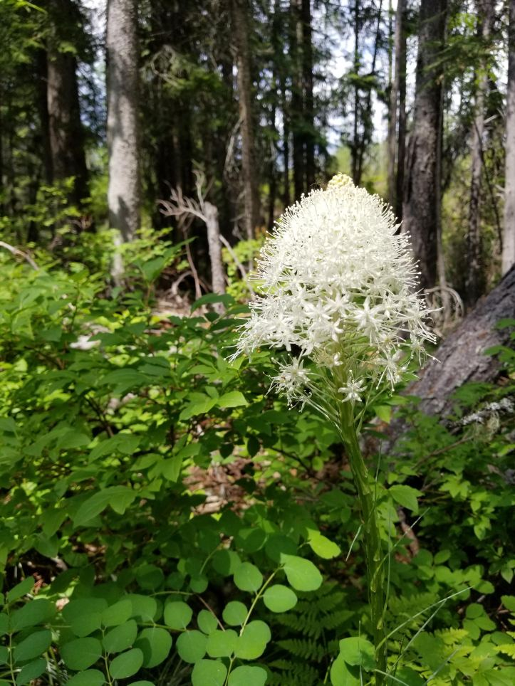 Bear Grass-GNP